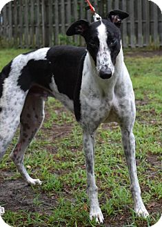 Greyhound Dog for adoption in Cherry Hill, New Jersey - Loud Hannity