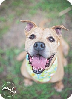 Staffordshire Bull Terrier Mix Dog for adoption in Houston, Texas - Diamond