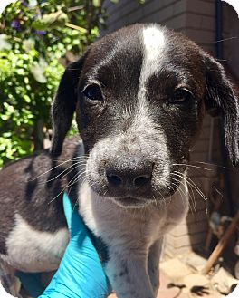 Cattle Dog/German Shorthaired Pointer Mix Puppy for adoption in Santa Ana, California - Delilah