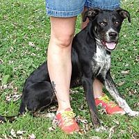 Adopt A Pet :: Felix (46 lb) Great Family Pet - Williamsport, MD