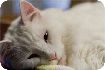Domestic Longhair Cat for adoption in Westbrook, Maine - Gustav