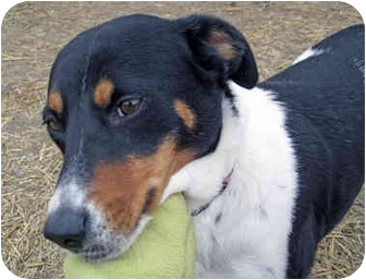 Border Collie/Terrier (Unknown Type, Medium) Mix Dog for adoption in Marseilles, Illinois - Lois