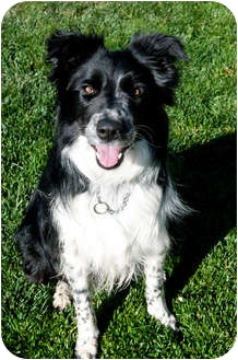Border Collie Dog for adoption in San Pedro, California - SOPHIE
