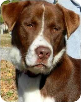 "Labrador Retriever/English Springer Spaniel Mix Dog for adoption in Wakefield, Rhode Island - REGAL-""HE IS!!!!!"