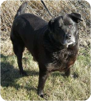 Labrador Retriever/Chow Chow Mix Dog for adoption in Morocco, Indiana - Old Girl