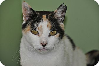 Calico Cat for adoption in Saint Albans, Vermont - Lil Lady