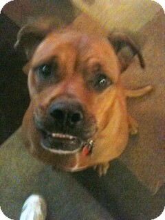 Boxer/Rhodesian Ridgeback Mix Dog for adoption in Morris, Illinois - RUBY