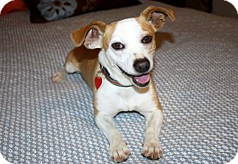 Beagle/Terrier (Unknown Type, Small) Mix Dog for adoption in Yorba Linda, California - Hunter