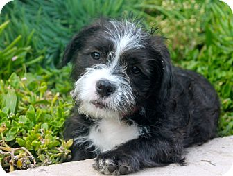 shih tzu pitbull mix full grown prancer adopted puppy los angeles ca american 1550