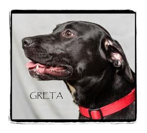 Labrador Retriever Mix Dog for adoption in Warren, Pennsylvania - Greta