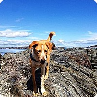 Adopt A Pet :: Hunter - PENDING, in Maine - kennebunkport, ME