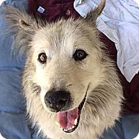 Adopt A Pet :: Koda - sweet senior needs love - Los Angeles, CA