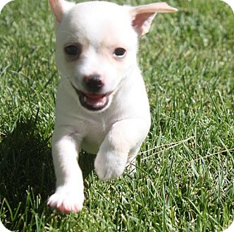 Terrier (Unknown Type, Small) Mix Puppy for adoption in Henderson, Nevada - Austin
