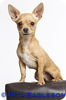 Chihuahua Mix Puppy for adoption in Phoenix, Arizona - Scoundrel
