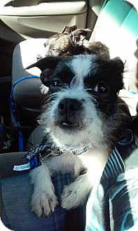Boston Terrier/Wirehaired Pointing Griffon Mix Dog for adoption in Spring Hill, Florida - Sophie