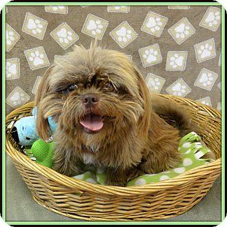 Shih Tzu/Brussels Griffon Mix Dog for adoption in Glendale, Arizona - Chewy
