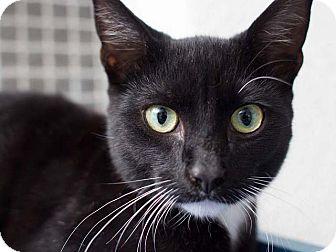 Domestic Shorthair Kitten for adoption in Hawthorne, California - Q-Tip