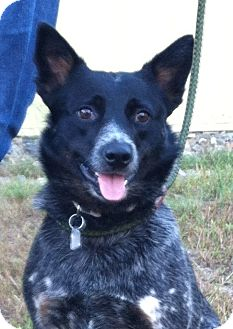 Australian Cattle Dog Dog for adoption in Warren, Maine - Nadia - ME