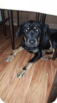 Rottweiler/Shepherd (Unknown Type) Mix Puppy for adoption in Hainesville, Illinois - Mary-Kate
