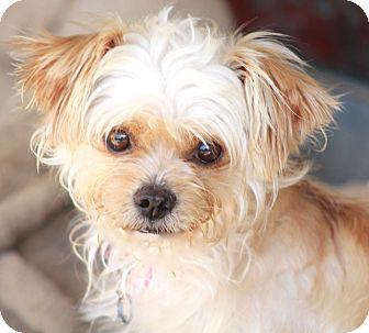 Yorkie, Yorkshire Terrier/Maltese Mix Dog for adoption in Woonsocket, Rhode Island - Raffles
