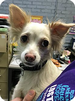 Chihuahua Dog for adoption in Oak Park, Illinois - Trinket
