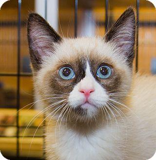 Siamese Kitten for adoption in Irvine, California - Callie
