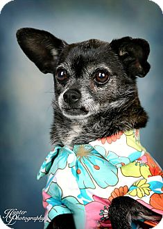 Chihuahua Dog for adoption in Palmdale, California - Augustina