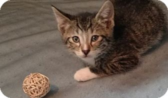 Domestic Shorthair Kitten for adoption in Des Moines, Iowa - Ira