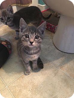Domestic Shorthair Kitten for adoption in Richmond, Virginia - Titan