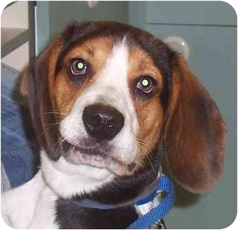 Beagle Dog for adoption in Ventnor City, New Jersey - DANNY 2