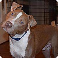 Adopt A Pet :: Red - Durham, NC