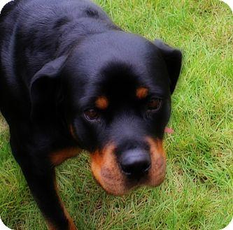 Rottweiler Dog for adoption in Lisbon, Iowa - Precious
