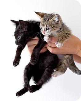 American Shorthair Kitten for adoption in Brooklyn, New York - Soup