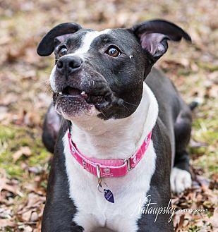 American Pit Bull Terrier Mix Dog for adoption in Acushnet, Massachusetts - Tootsie