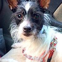 Adopt A Pet :: Auria - Staten Island, NY