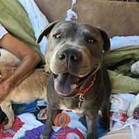 Adopt A Pet :: Maya - San Ramon, CA
