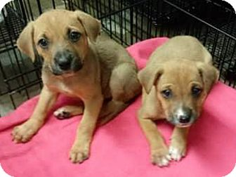Terrier (Unknown Type, Small) Mix Puppy for adoption in Toronto, Ontario - Resse