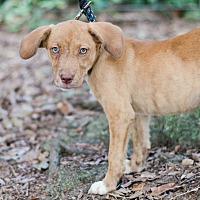 Adopt A Pet :: Blair $250 - Seneca, SC