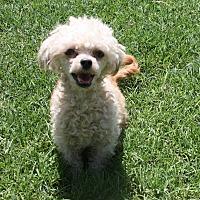 Adopt A Pet :: Marci - Henderson, NV