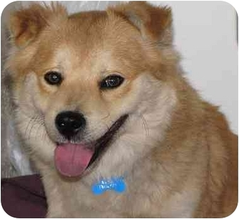 Welsh Corgi Mix Puppy for adoption in Los Angeles, California - Cardiff