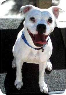 American Bulldog Dog for adoption in Vista, California - Layla
