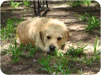 Labrador Retriever/Terrier (Unknown Type, Small) Mix Dog for adoption in Kingwood, Texas - Buddy