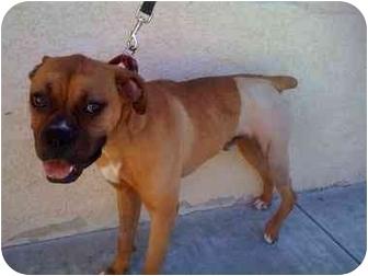 Boxer Mix Dog for adoption in Davis, California - Junior #1