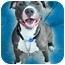 Photo 1 - American Pit Bull Terrier/American Pit Bull Terrier Mix Dog for adoption in Bellflower, California - Dulci