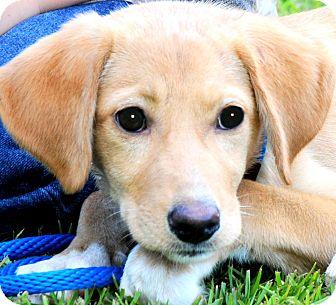 Labrador Retriever Mix Puppy for adoption in Wakefield, Rhode Island - SUZIE(OUR LAB PETITE PUPPY!!
