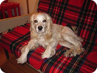 Cocker Spaniel Dog for adoption in Sagaponack, New York - Casper