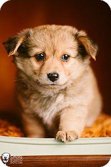 Corgi/Sheltie, Shetland Sheepdog Mix Puppy for adoption in Portland, Oregon - Piggley
