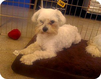 Maltese Mix Dog for adoption in Inglewood, California - Lucky