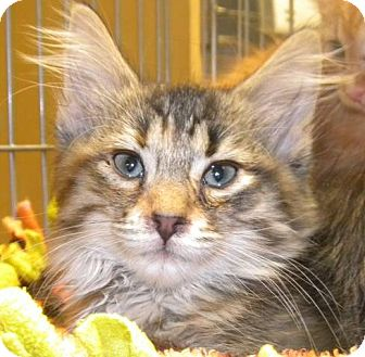 Domestic Longhair Kitten for adoption in Marion, Wisconsin - Athena