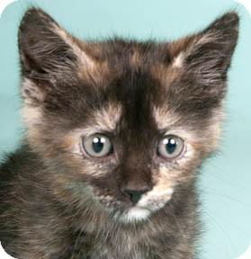 Domestic Shorthair Kitten for adoption in Chicago, Illinois - Skittles